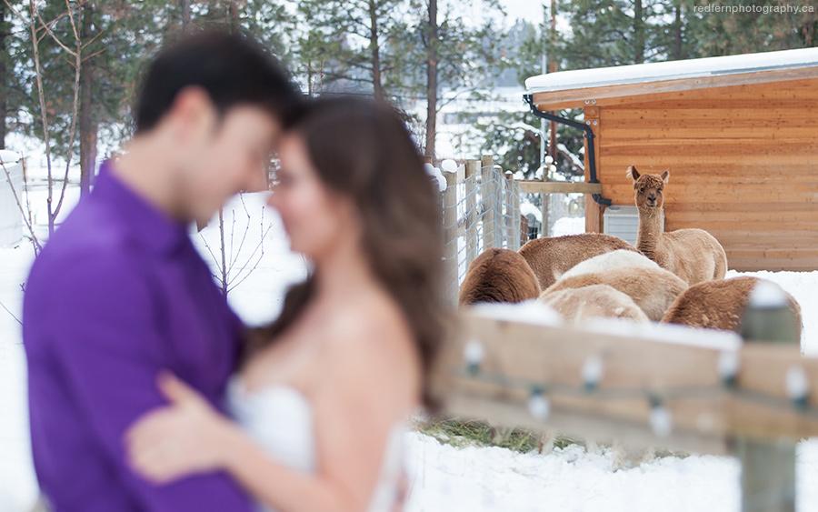 Kelowna winter wedding alpaca