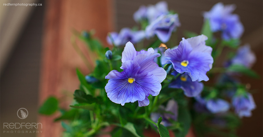 Purple pansies as wedding decoration