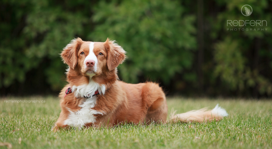 red toller dog Nova Scotia Duck Tolling Retriever in the grass